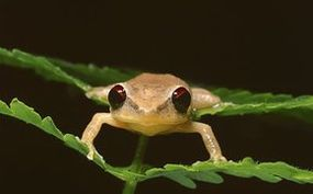 Bermudan Frogs